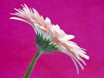 Het madeliefje van Gerber op roze achtergrond Stock Foto's