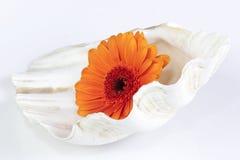 Het madeliefje van Gerbera in shell royalty-vrije stock fotografie