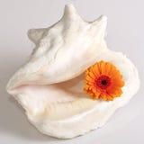 Het madeliefje van Gerbera in shell stock fotografie