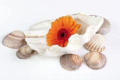 Het madeliefje van Gerbera in shells royalty-vrije stock afbeeldingen