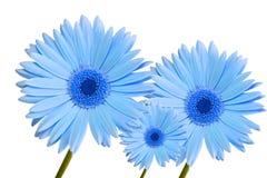 Het madeliefjeblauw drie van Gerbera stock foto's