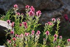 Het magenta Penseel bloeit Backlit Royalty-vrije Stock Foto's