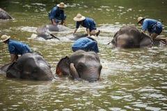 Het Mahoutsbad en maakt de olifanten in de rivier schoon Stock Foto's