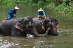 Het Mahoutsbad en maakt de olifanten in de rivier schoon Royalty-vrije Stock Foto's