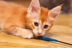 Het Maine Coon-katje knaagt aan de draad die in blauwe elektroband wordt verpakt Getikte het Rood van de kattenkleur royalty-vrije stock afbeelding