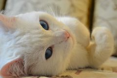 Het majestueuze gezicht van een kat Stock Afbeeldingen