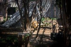 Het majestueuze leeuw liggen die de horizon tussen bomen in de wildernis bekijkt stock foto