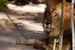 Het majestueuze leeuw rusten Stock Foto