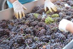 Het makende proces van de wijn Stock Fotografie