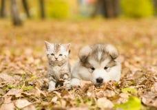Het malamutepuppy van Alaska en Schots katje die samen in de herfstpark liggen royalty-vrije stock afbeelding