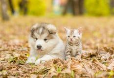 Het malamutepuppy van Alaska en Schots katje die samen in de herfstpark liggen stock foto's