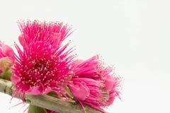 Het Maleisische roze van de appelbloem royalty-vrije stock foto