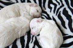 Het Maltese puppy slapen Royalty-vrije Stock Afbeeldingen