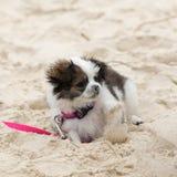 Het Maltese Puppy van Tzu van Shih royalty-vrije stock afbeelding