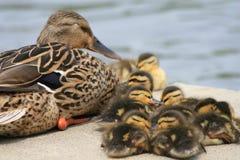 Het Mamma en de Babys van de wilde eend Royalty-vrije Stock Afbeeldingen