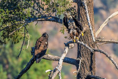 ` Het mamma u liet vallen enkel mijn vissen ` het Zeldzame Waarnemen Amerikaans Kaal Eagle in de Zuidelijke Reeks van Californië Stock Afbeeldingen