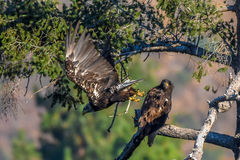 ` Het mamma u liet vallen enkel mijn vissen ` het Zeldzame Waarnemen Amerikaans Kaal Eagle in de Zuidelijke Reeks van Californië Stock Foto's