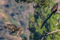 ` Het mamma u liet vallen enkel mijn vissen ` het Zeldzame Waarnemen Amerikaans Kaal Eagle in de Zuidelijke Reeks van Californië Royalty-vrije Stock Foto's