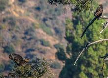 ` Het mamma u liet vallen enkel mijn vissen ` het Zeldzame Waarnemen Amerikaans Kaal Eagle in de Zuidelijke Reeks van Californië Stock Foto