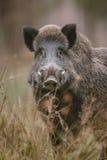 Het mannelijke beer letten op royalty-vrije stock fotografie