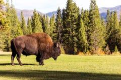 Het mannelijke bizonbuffels weiden Royalty-vrije Stock Fotografie