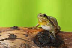Het mannelijke boomkikker zingen Stock Foto's