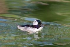 Het mannelijke Bufflehead-Zwemmen Stock Fotografie