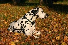 Het mannelijke Dalmatische waarnemen Stock Fotografie