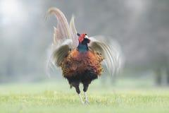 Het mannelijke Fazant klappen Royalty-vrije Stock Afbeeldingen