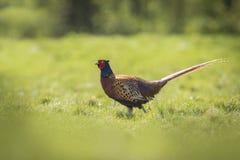 Het mannelijke Fazant stappen Royalty-vrije Stock Foto's