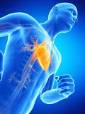 Het mannelijke hart Stock Afbeelding