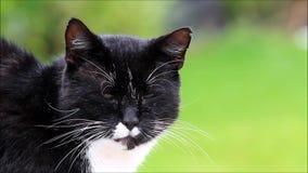 Het mannelijke kat zwart-witte kijken stock video