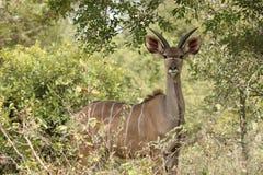 Het mannelijke kudu staren Stock Afbeeldingen