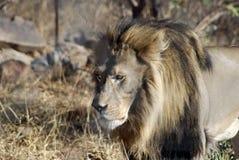 Het mannelijke leeuw besluipen Stock Afbeeldingen