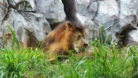 Het mannelijke leeuw rusten stock videobeelden