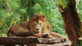 Het mannelijke leeuw rusten stock video