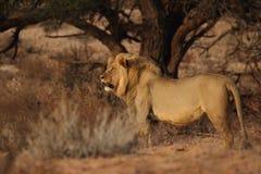 Het mannelijke leeuw staren Royalty-vrije Stock Foto