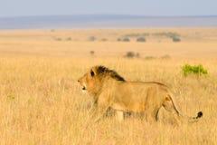 Het mannelijke leeuw wandelen stock afbeelding