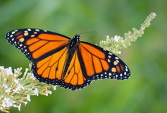 Het mannelijke Monarchvlinder voeden op witte bloemen Stock Foto