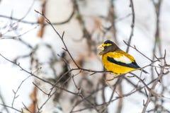 Het mannelijke Nieuwjaar van Avondgrosbeakbird Celebratig door Minus Twintig F Stock Foto