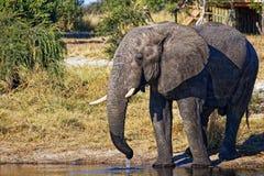 Het mannelijke olifant drinken bij een waterhole royalty-vrije stock foto's