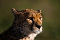 Het mannelijke portret van de jachtluipaard, Serengeti Royalty-vrije Stock Foto's