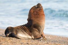 Het mannelijke portret van de zeeleeuwverbinding op het strand royalty-vrije stock foto