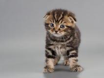 Het mannelijke ras van katjes Schotse vouwen Royalty-vrije Stock Afbeelding