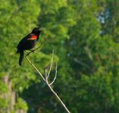 Het mannelijke red-winged merel zingen in aard Royalty-vrije Stock Foto's