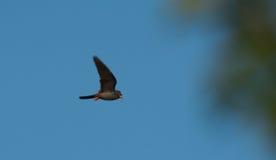 Het mannelijke rode betaalde haviksFalco vespertinus vliegen Stock Foto's