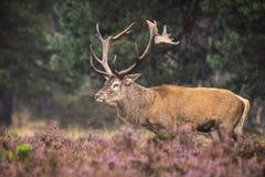 Het mannelijke rode herten rutting Royalty-vrije Stock Foto's