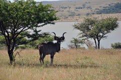 Het mannelijke rusten Kudu Royalty-vrije Stock Afbeelding