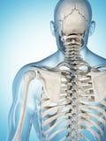 Het mannelijke skelet Stock Foto's