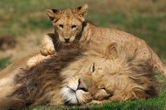 Het mannelijke spelen van de Leeuw met welp stock foto